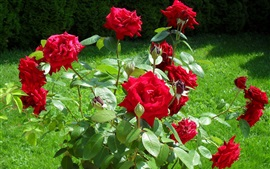 Preview wallpaper Sunny day, grass, red rose