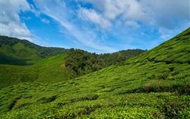 Plantações de chá, declive, céu, Malásia