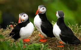 Preview wallpaper Three puffins