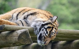 Preview wallpaper Tiger sleeping