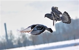Preview wallpaper Two gray pigeons flying, winter