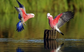 Preview wallpaper Two parrots, wings, water, stump