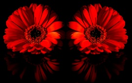 Preview wallpaper Two red daisy flowers