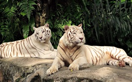 Preview wallpaper Two white tigers rest