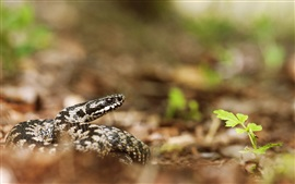 Aperçu fond d'écran Vipère, serpent, sol