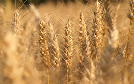 Preview wallpaper Wheat close-up