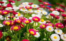 Preview wallpaper White and pink daisies, flowers photography