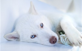 Preview wallpaper White dog, blue eyes, sleep