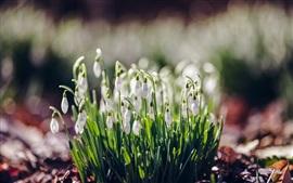 Flores brancas, snowdrops, primavera