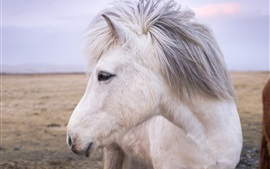 White horse front view, head, mane