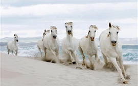 Cavalos brancos correndo, areias, mar
