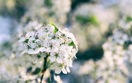 Preview wallpaper White sakura bloom, spring