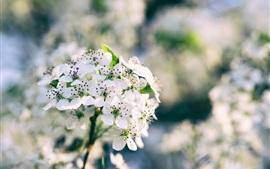 Белая сакура цветёт, весна