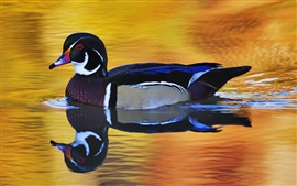 Preview wallpaper Wild duck beautiful feathers, water reflection