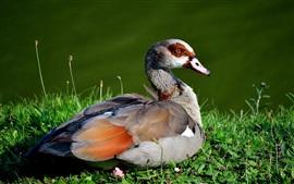 Дикая утка, трава, озеро