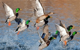 Preview wallpaper Wild ducks flying, wings, water splash