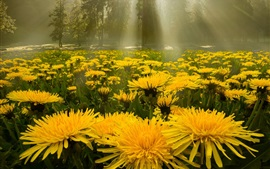 Yellow dandelions flowers, forest, glare