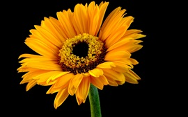 Preview wallpaper Yellow petals gerbera, black background