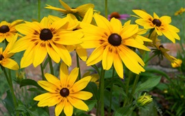 Preview wallpaper Yellow rudbeckia flowers