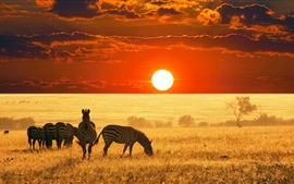 Preview wallpaper Zebras, grassland, sunset
