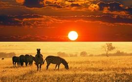 Zebras, grassland, sunset