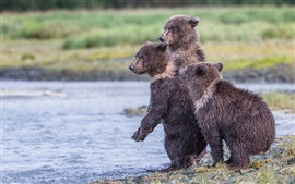 Alaska, Katmai National Park, lake, three wet bear cubs