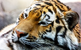 Preview wallpaper Amur tiger rest, face close-up
