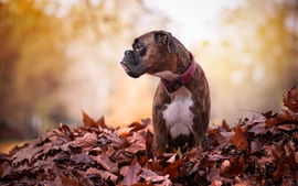 Preview wallpaper Autumn, red leaves, dog look at side