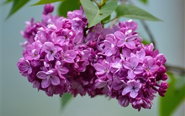 Preview wallpaper Beautiful lilac flowers, inflorescence