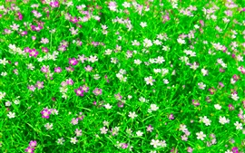 Beautiful oxalis flowers field, green leaves