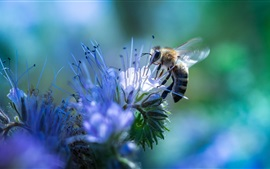 Preview wallpaper Bee and blue flowers, insect photography