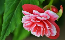 Begonia, red white petals