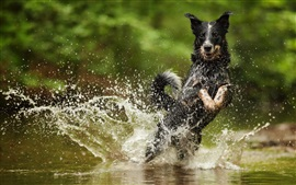 Preview wallpaper Black dog run in water