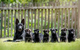 Preview wallpaper Black dogs, German shepherd, puppies, grass