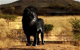 壁紙のプレビュー 黒いライオン