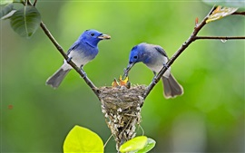 Preview wallpaper Blue birds feeding