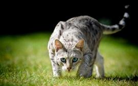 Olhos azuis vista frontal do gato, grama