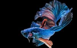 預覽桌布 藍色的魚,黑色的背景