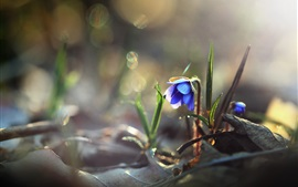 Blue flower, nature, dew, morning