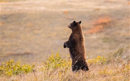 Preview wallpaper Brown bear standing, look, grass