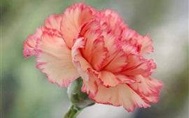 Flor de cravo, pétalas cor de rosa