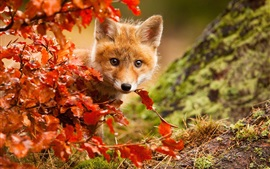 Preview wallpaper Cute fox in autumn, red leaves