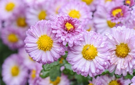 Preview wallpaper Daisy, pink flowers, water drops