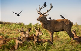 Cervo e corvo