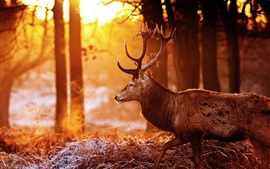 Preview wallpaper Deer, forest, trees, sun rays, glare