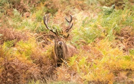 Preview wallpaper Deer in autumn, thickets, horns