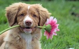 O cão pega uma flor rosa
