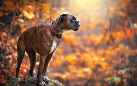 Preview wallpaper Dog in autumn, bokeh