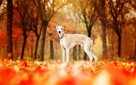 Preview wallpaper Dog in autumn, red leaves ground