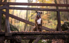 Dog sit on wood bridge